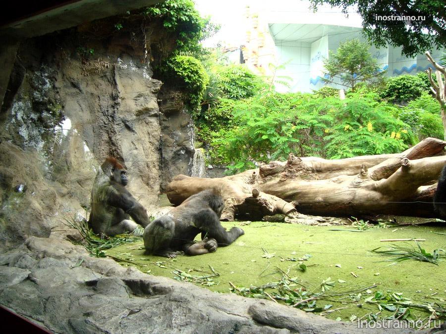 гориллы на канарах