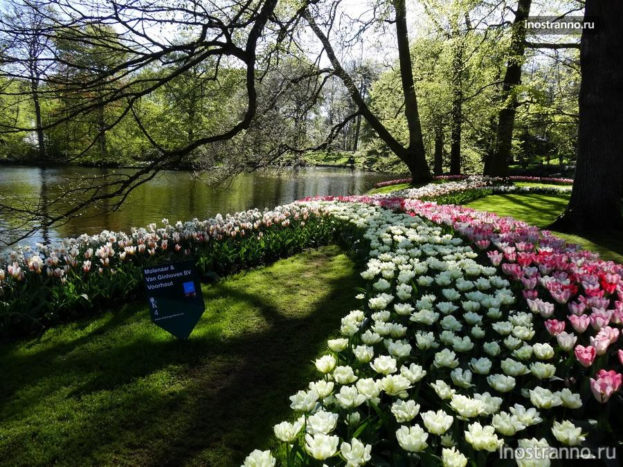 белые тюльпаны - нидерланды
