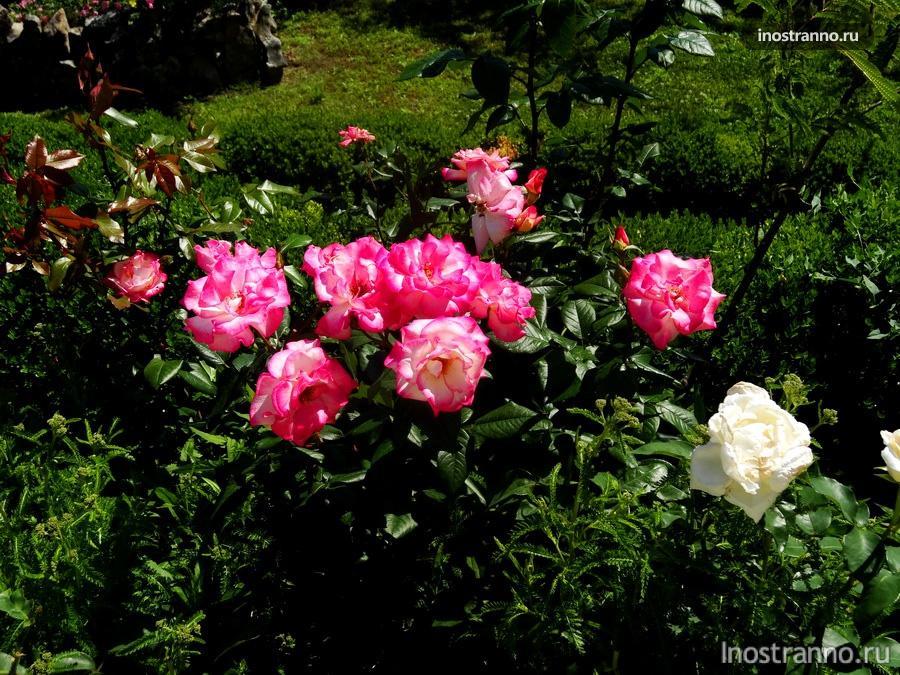 розы на территории замка