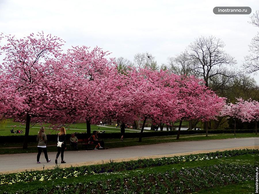 Вишня весной в Праге