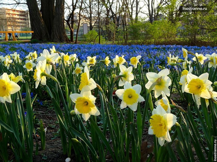 Весеннее цветение нарциссов в Праге