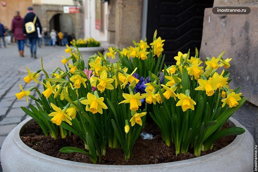Весенние желтые цветы в Праге