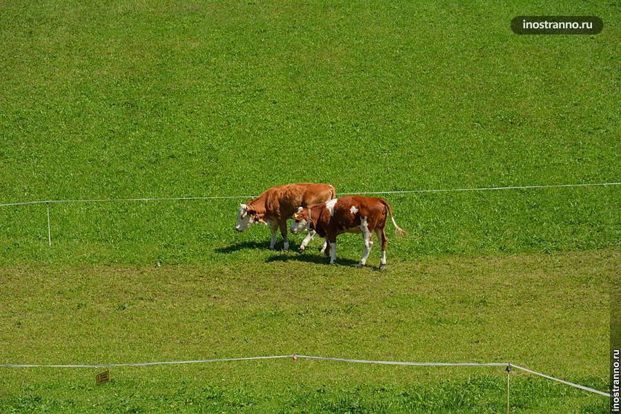 Немецкие коровы
