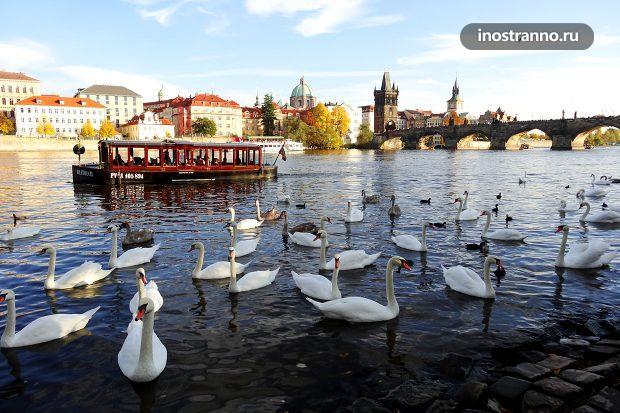 Лебеди на реке Влтава в Праге