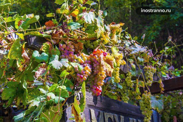 Болгарский виноград