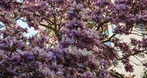 Цветение магнолий в Праге