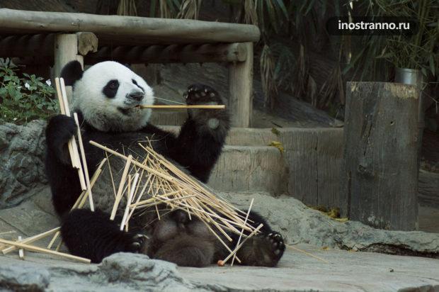 Венский зоопарк Панда