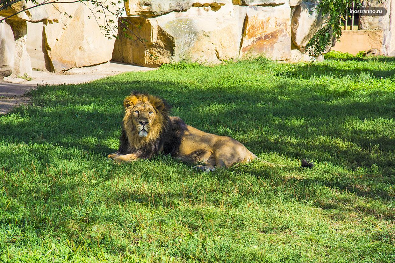 Лев в лучшем зоопарке