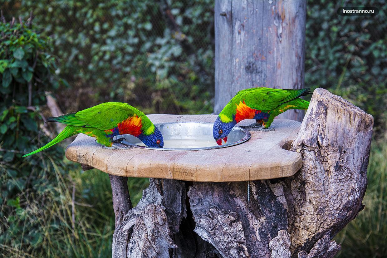 Попугаи лориевые