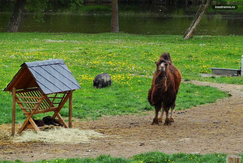 Верблюд в зоопарке