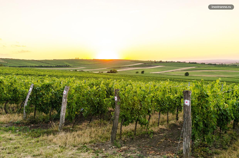Виноградники на Мораве в Чехии