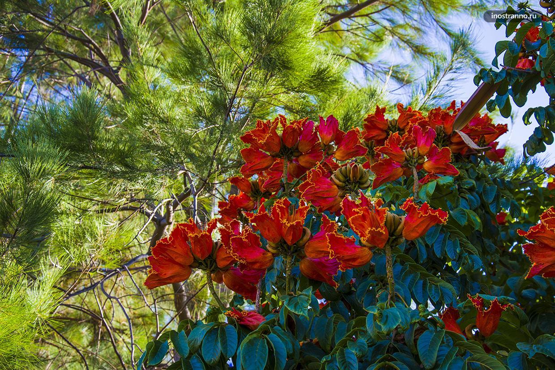Тюльпановое дерево на Мадейре