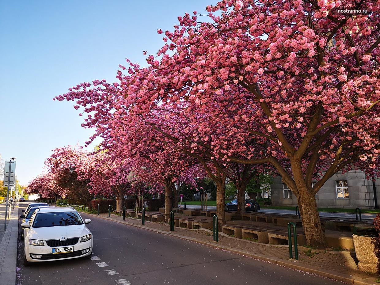 Весна в Праге цветение сакуры