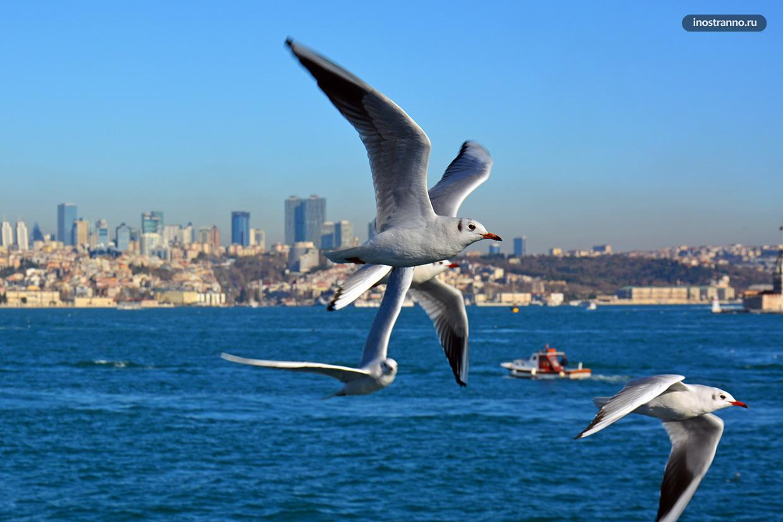 Большая чайка в Стамбуле фото с парома