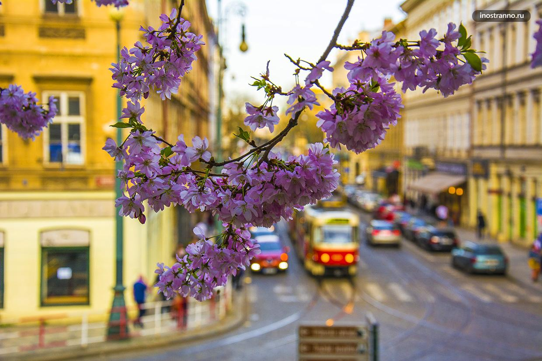 Прага Сакура