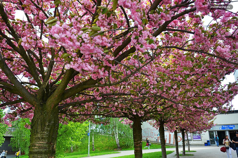 Прага весной цветы