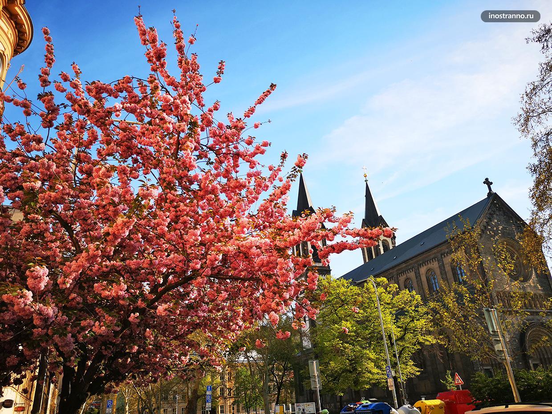 Когда цветет сакура в Праге