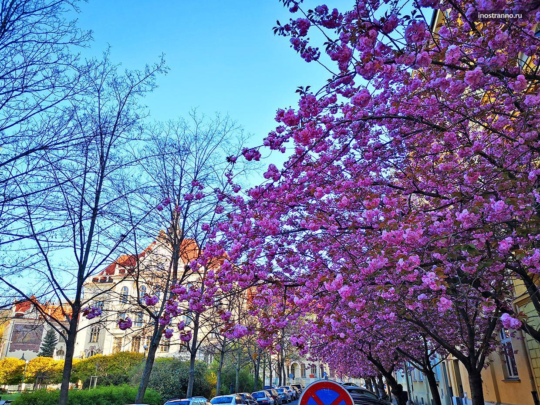 Где цветет сакура