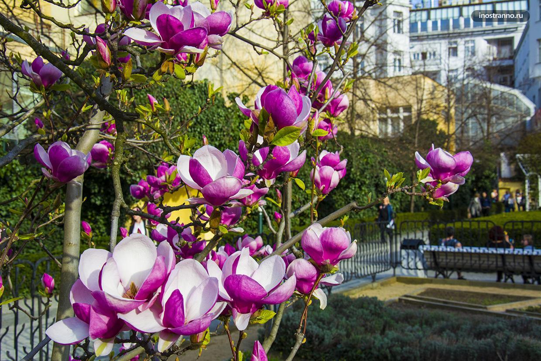 Цветущая магнолия в Праге