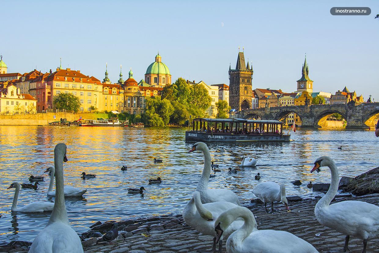 Пражские лебеди рядом с Карловым мостом