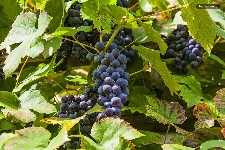 Европейские виноградники