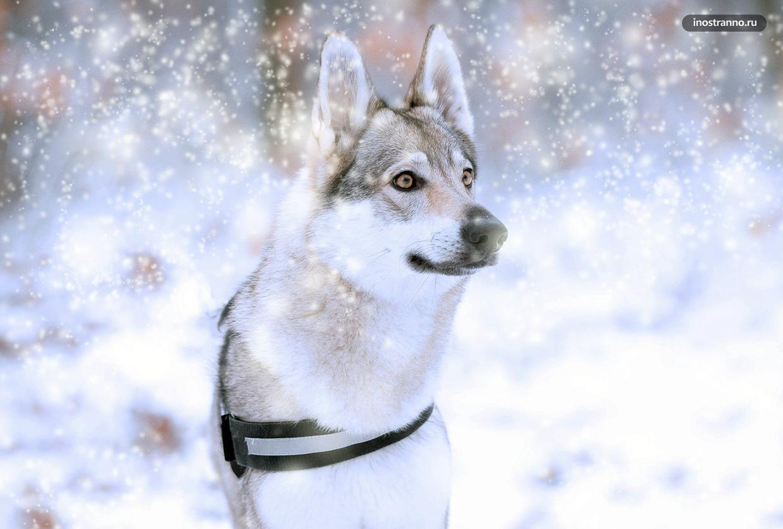 Чешский волчак фото и темперамент