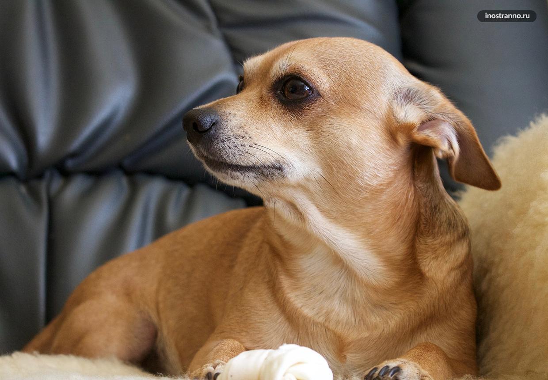 Пражский крысарик порода небольшой собаки из Чехии фото