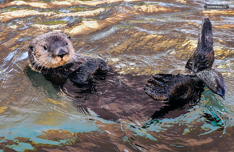 Калан или морская выдра в зоопарке
