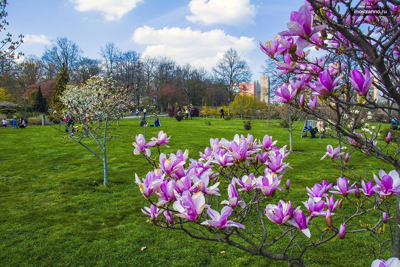 Цветение магнолии в Ботаническом саду Праги